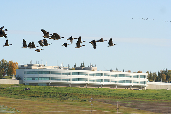 Geese fly in front of the Butrovich building at UAF